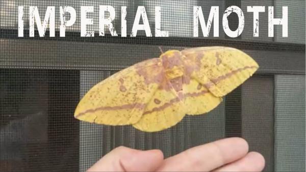 imp moth thumb